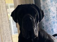 Neapolitan Mastiff Puppies for sale in Naples, FL, USA. price: NA