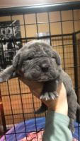 Neapolitan Mastiff Puppies for sale in Belle Chasse, LA, USA. price: NA