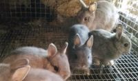 Netherland Dwarf rabbit Rabbits for sale in Bellefontaine, OH 43311, USA. price: NA