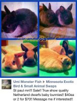 Netherland Dwarf rabbit Rabbits for sale in Fond du Lac, WI, USA. price: NA