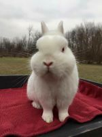 Netherland Dwarf rabbit Rabbits for sale in Monroe, MI, USA. price: NA