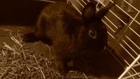 Netherland Dwarf rabbit Rabbits for sale in Pittsburgh, PA, USA. price: NA