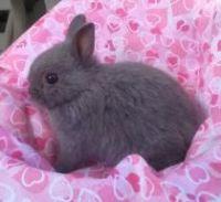 Netherland Dwarf rabbit Rabbits for sale in Houston, TX, USA. price: NA