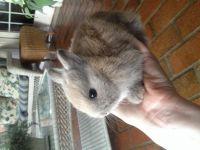 Netherland Dwarf rabbit Rabbits for sale in Atlanta, GA, USA. price: NA