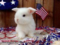 Netherland Dwarf rabbit Rabbits for sale in Hayward, CA, USA. price: NA