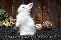 Netherland Dwarf rabbit Rabbits for sale in San Francisco, CA, USA. price: NA