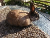 Netherland Dwarf rabbit Rabbits for sale in Roseville, OH 43777, USA. price: NA