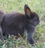 Netherland Dwarf rabbit Rabbits for sale in Whitwell, TN 37397, USA. price: NA