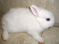 Netherland Dwarf rabbit Rabbits for sale in Hauppauge, NY, USA. price: NA