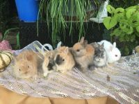 Netherland Dwarf rabbit Rabbits for sale in Fort Worth, TX, USA. price: NA