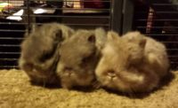 Netherland Dwarf rabbit Rabbits for sale in Shelbyville, MI 49344, USA. price: NA