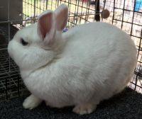 Netherland Dwarf rabbit Rabbits for sale in Austin, TX, USA. price: NA