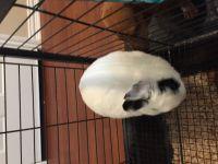 Netherland Dwarf rabbit Rabbits for sale in Alvin, TX, USA. price: NA