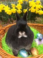 Netherland Dwarf rabbit Rabbits for sale in Cincinnati, OH, USA. price: NA