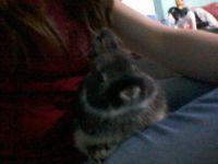 Netherland Dwarf rabbit Rabbits for sale in Kennesaw, GA, USA. price: NA