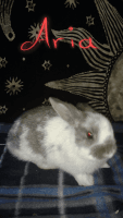 Netherland Dwarf rabbit Rabbits for sale in St Clair, PA, USA. price: NA