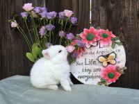 Netherland Dwarf rabbit Rabbits for sale in Tracy, CA, USA. price: NA