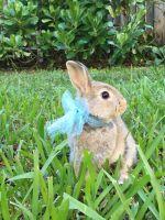 Netherland Dwarf rabbit Rabbits for sale in Kendall, FL, USA. price: NA