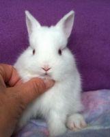 Netherland Dwarf rabbit Rabbits for sale in Newaygo, MI 49337, USA. price: NA