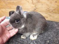 Netherland Dwarf rabbit Rabbits for sale in Winter Haven, FL, USA. price: NA