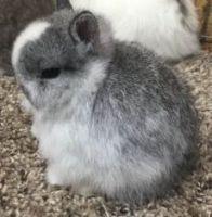 Netherland Dwarf rabbit Rabbits for sale in Burleson, TX, USA. price: NA