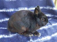 Netherland Dwarf rabbit Rabbits for sale in Floral City, FL 34436, USA. price: NA