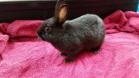 Netherland Dwarf rabbit Rabbits for sale in 420 Brenneman Rd, Willow Street, PA 17584, USA. price: NA