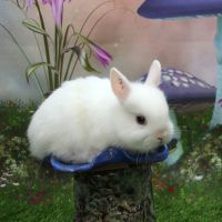 Netherland Dwarf rabbit Rabbits for sale in Natick, MA, USA. price: NA