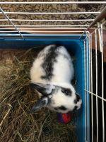 Netherland Dwarf rabbit Rabbits for sale in Brooklyn, NY, USA. price: NA