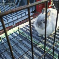 Netherland Dwarf rabbit Rabbits for sale in Springfield, OH, USA. price: NA