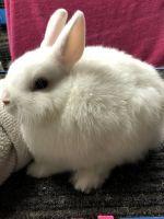 Netherland Dwarf rabbit Rabbits for sale in Seabrook, TX, USA. price: NA