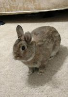 Netherland Dwarf rabbit Rabbits for sale in University Heights, OH, USA. price: NA