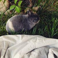 Netherland Dwarf rabbit Rabbits for sale in Pueblo, CO 81007, USA. price: NA
