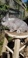 Netherland Dwarf rabbit Rabbits for sale in St Paul, MN, USA. price: NA