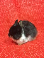 Netherland Dwarf rabbit Rabbits for sale in Wauseon, OH 43567, USA. price: NA