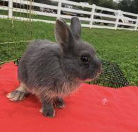 Netherland Dwarf rabbit Rabbits for sale in Freehold, NJ 07728, USA. price: NA