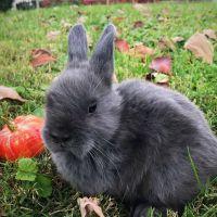 Netherland Dwarf rabbit Rabbits for sale in Abingdon, MD, USA. price: NA