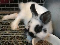 Netherland Dwarf rabbit Rabbits for sale in McKinney, TX, USA. price: NA