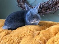 Netherland Dwarf rabbit Rabbits for sale in Aragon, GA, USA. price: NA