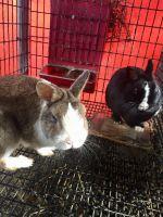 Netherland Dwarf rabbit Rabbits for sale in Hogansville, GA 30230, USA. price: NA
