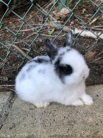 Netherland Dwarf rabbit Rabbits for sale in Anaheim Hills, Anaheim, CA, USA. price: NA