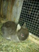 Netherland Dwarf rabbit Rabbits Photos