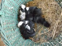 Netherland Dwarf rabbit Rabbits for sale in Anderson, SC, USA. price: NA
