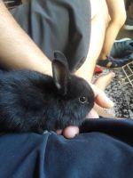 Netherland Dwarf rabbit Rabbits for sale in San Jose, CA, USA. price: NA