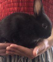 Netherland Dwarf rabbit Rabbits for sale in Newark, NJ 07105, USA. price: NA