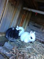 Netherland Dwarf rabbit Rabbits for sale in St. Petersburg, FL, USA. price: NA