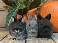 Netherland Dwarf rabbit Rabbits for sale in Rockwell, NC 28138, USA. price: NA