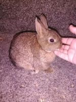 Netherland Dwarf rabbit Rabbits for sale in Coleman, MI 48618, USA. price: NA