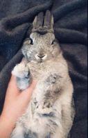 Netherland Dwarf rabbit Rabbits for sale in Cayce, SC, USA. price: NA