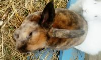 Netherland Dwarf rabbit Rabbits for sale in Warren, MI, USA. price: NA